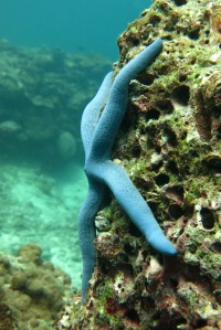 sea star ko haa thailand
